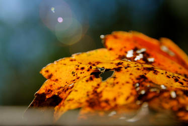 Autumn Leaf ... Orange. by shinyedwardcullen