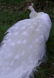 peacock by F-R-E-A-K-O