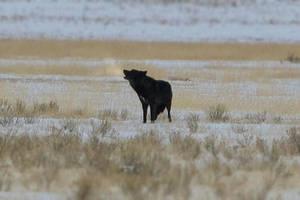 Yellowstone Wolf, 3 by Keowolf