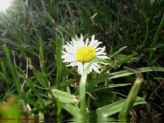 Gaensebluemchen 'daisy' 2 by LexartPhotos