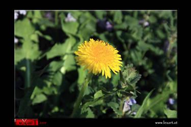 dandelion by LexartPhotos