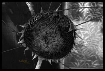 sunflower bw by LexartPhotos