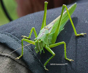 grasshopper on shoulder by LexartPhotos