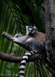 Ring Tailed Lemur 3 by AngelBrittony-Adams