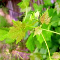 vines by Mittelfranke