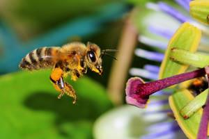 Croatian Honeybee by Satriver