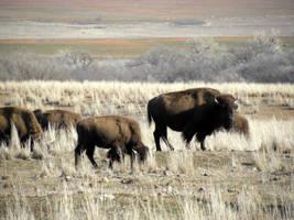 Buffalo by SuicideBySafetyPin