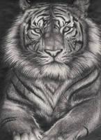 Tiger by apollo22