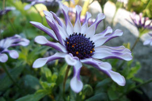 African Daisy by Teapot42
