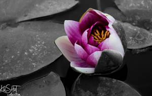 Lotus by sAARGe
