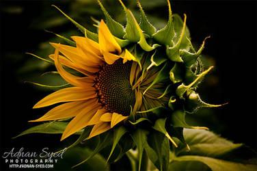 Sunflower by sAARGe