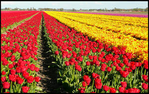 No Dutch spring without tulips by jchanders