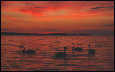 Evening swans on the fjord by jchanders