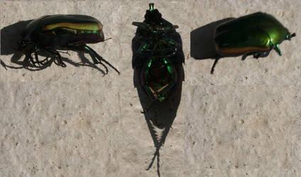 Figeater Beetle by Teejxamanbinnojol