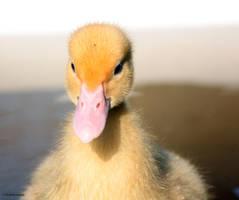 Little Duck by AngelaLouwe