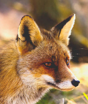 Fox Portrait by AngelaLouwe