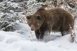 Brown Bear by AngelaLouwe