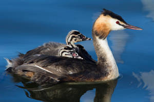 Great Crested Grebe by AngelaLouwe