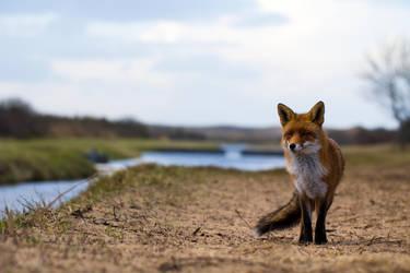 Fox in the landscape by AngelaLouwe