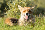 Happy Fox by AngelaLouwe