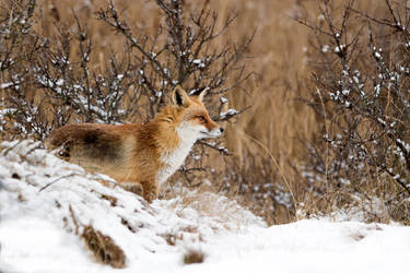 Winter Wonderland Fox by AngelaLouwe