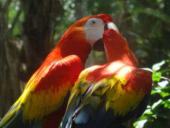 Scarlet Macaw (Ara macao): Display of affection. by Lacrimosa-Angelus