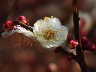 UME  plum blossoms by hirolu