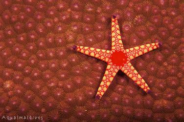 Starfish by Seyan