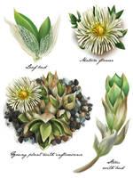 Botannical Illustration - Kanna by DesigningLua