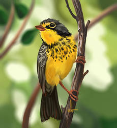 Canada Warbler by DesigningLua