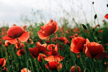 Red poppies by Freeraser