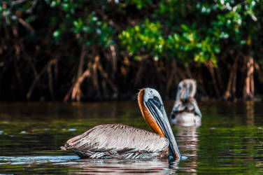 Bird Sanctuary - Pelican Floating by Freeformedto