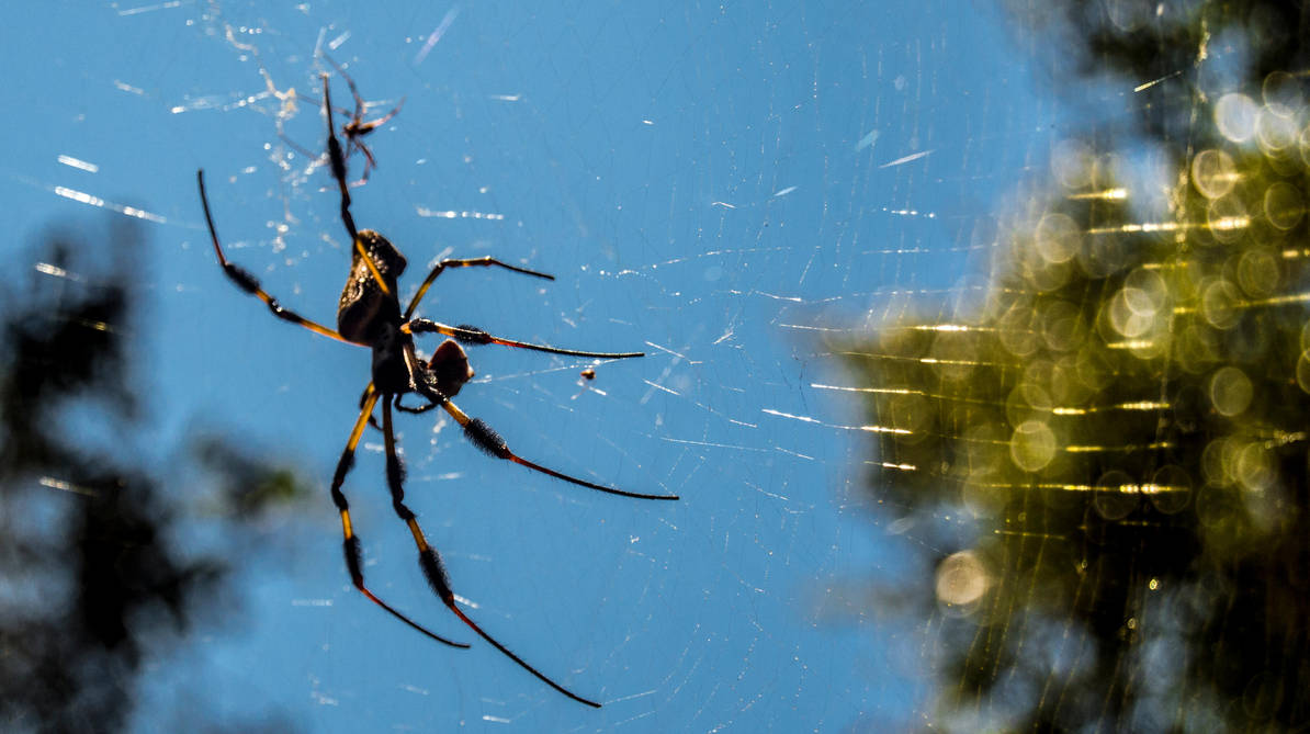 Golden Orb Weaver by Freeformedto