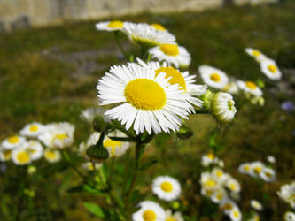 Chamomile by punk-s-not-dead