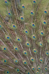Peacock stock 5 by Random-Acts-Stock