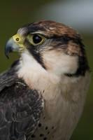 Bird of prey 11 by Random-Acts-Stock