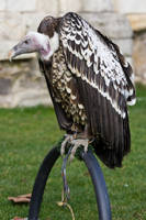 Bird of Prey 27 by Random-Acts-Stock