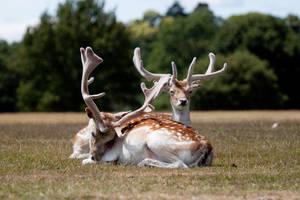 Deer stock 2 by Random-Acts-Stock