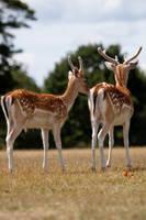 Deer stock 10 by Random-Acts-Stock