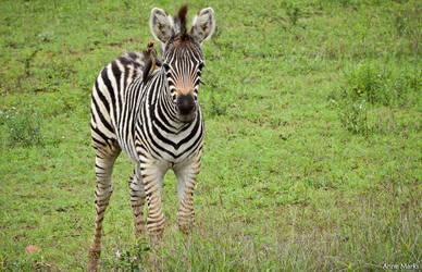 Baby Zebra by AnneMarks