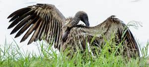 Grooming Vulture by AnneMarks