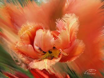 TULIPE. by BELLESYMPHORINE