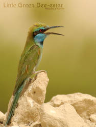 :: Little Green Bee-eater :: by UG3