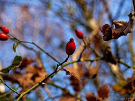 Bud Red by x0fallenangel0x