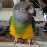 My Senegal parrot with mirror image of cage and me by lestnill