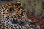 Chinese Panther 9_ stock img by sekhmet-stock