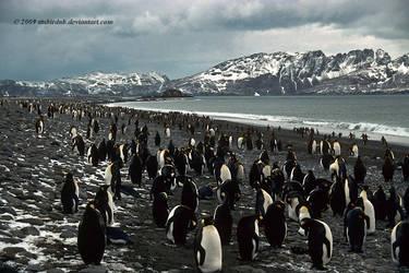 King Penguin beach by stubirdnb