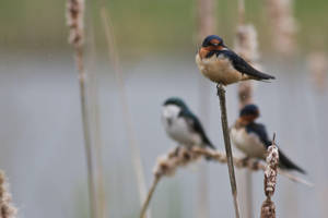 Swallows and Cattails by stubirdnb
