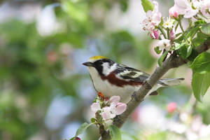 Chestnut-sided Warbler by stubirdnb