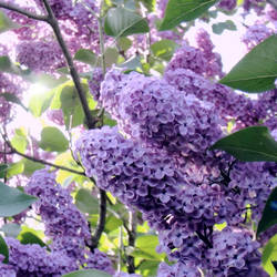 Violett by Schneeengel